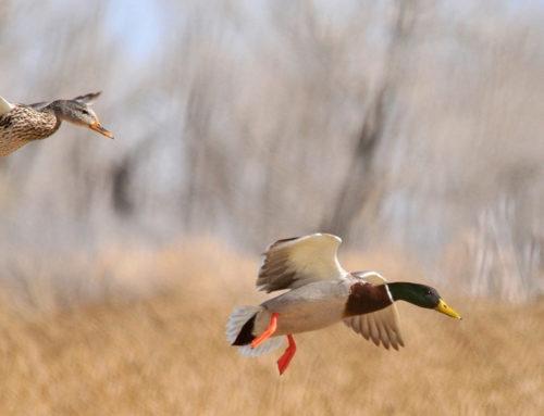 Relazione sull'influenza aviaria – Dott. Alessandro Guerrini